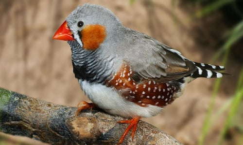 A photo of a zebra finch perch on a branch.